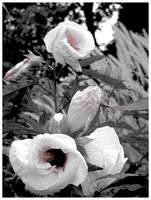 Fluffy Flowers by kamuidestiny