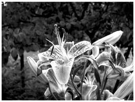 Lillies by kamuidestiny