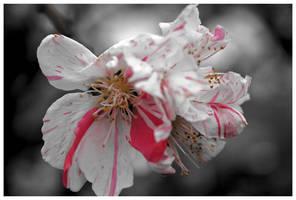 Cherry Splash by kamuidestiny