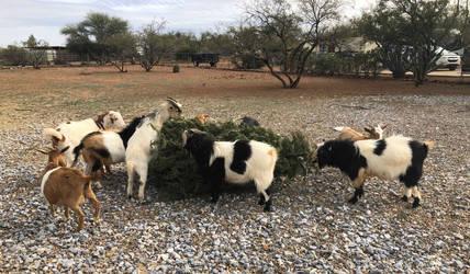 Do goats like Christmas Trees? by Dynamoe
