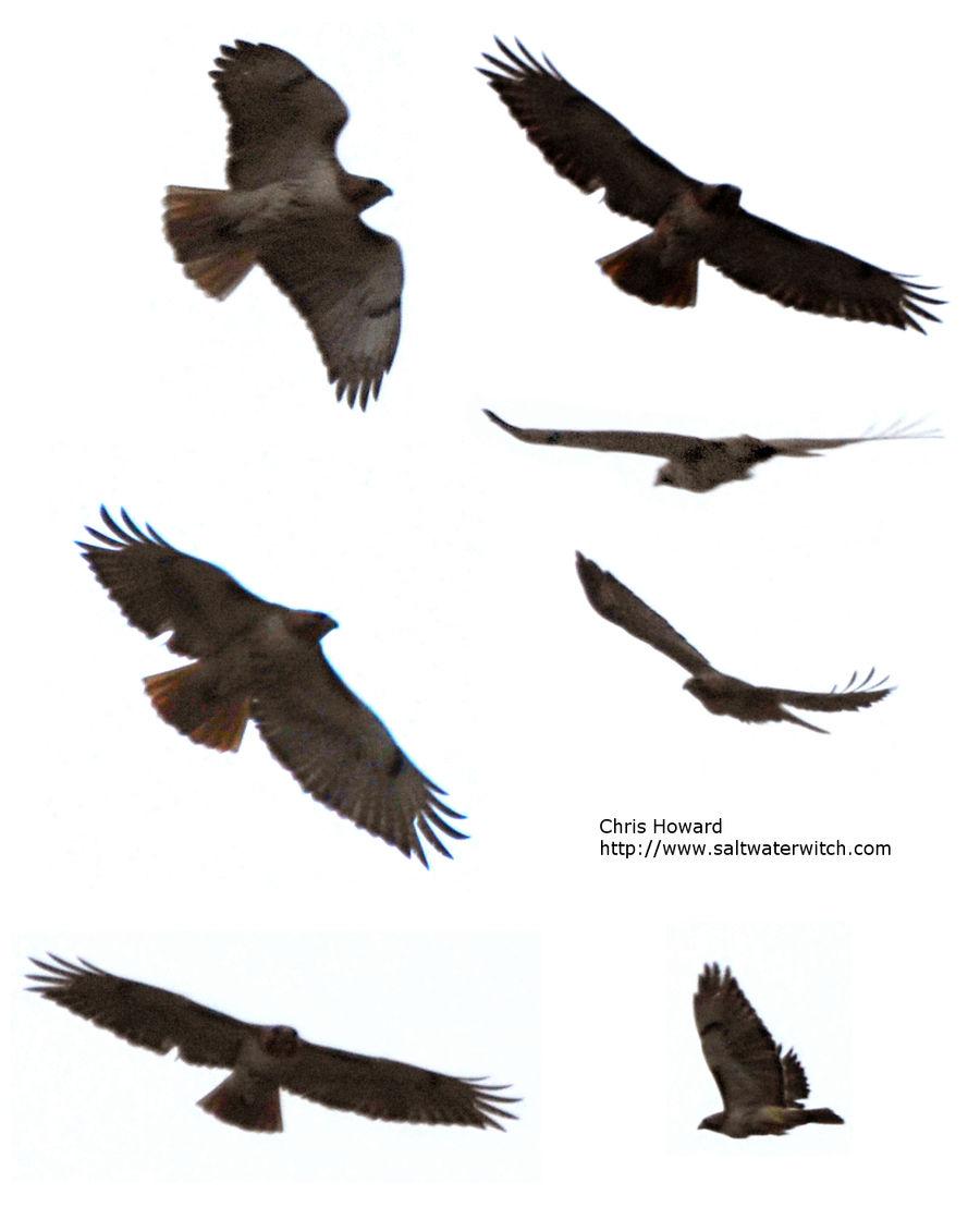 Hawk and eagle stock