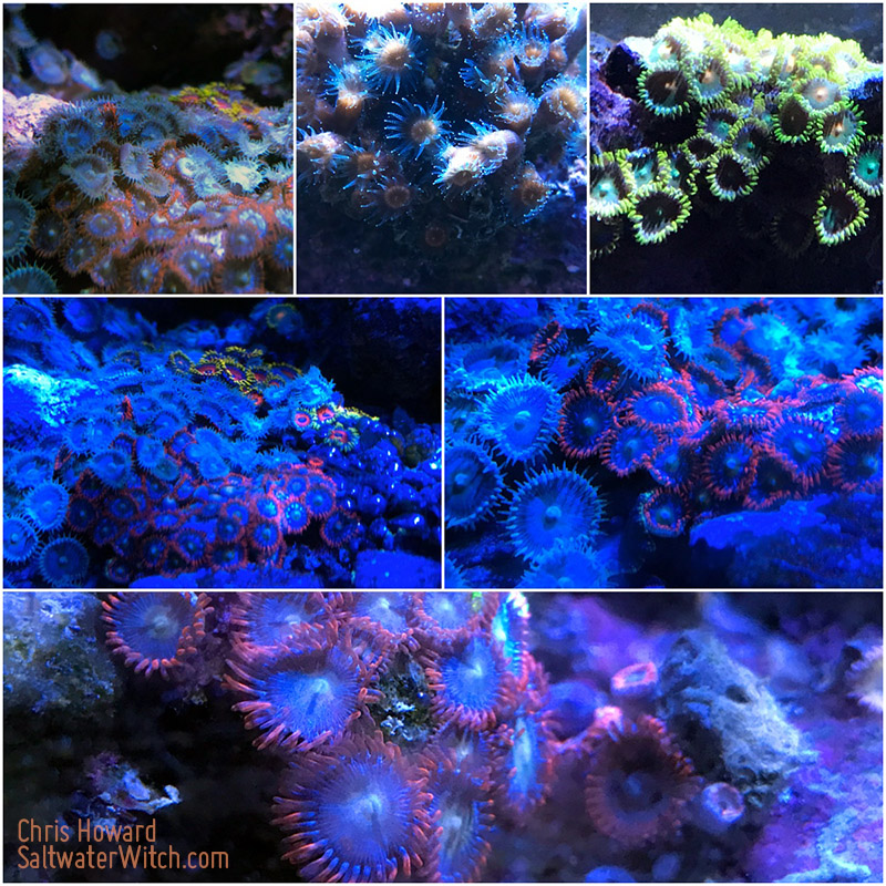 Zoanthids and Palythoans in my reef by the0phrastus