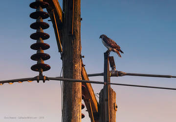 Red Tail Hawk by the0phrastus