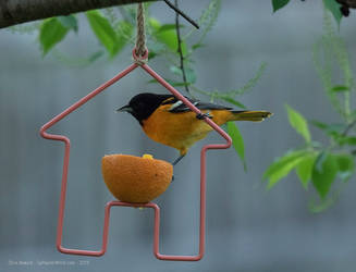 Orioles At The Oranges by the0phrastus
