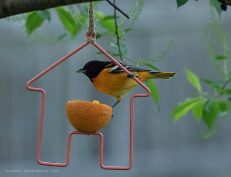 Orioles At The Oranges
