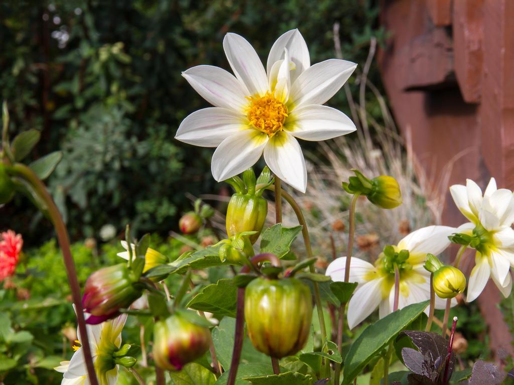 Dahlia Garden by ARC-Photographic