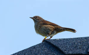 Dunnock by ARC-Photographic