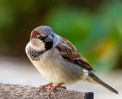 Portrait of a Sparrow by ARC-Photographic