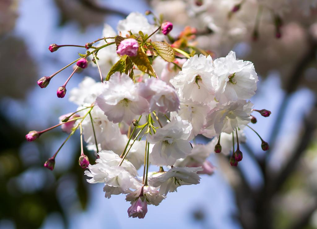 Cherry Blossom by firouz222