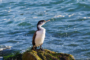 Pied Shag by ARC-Photographic