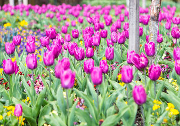Tulips by ARC-Photographic