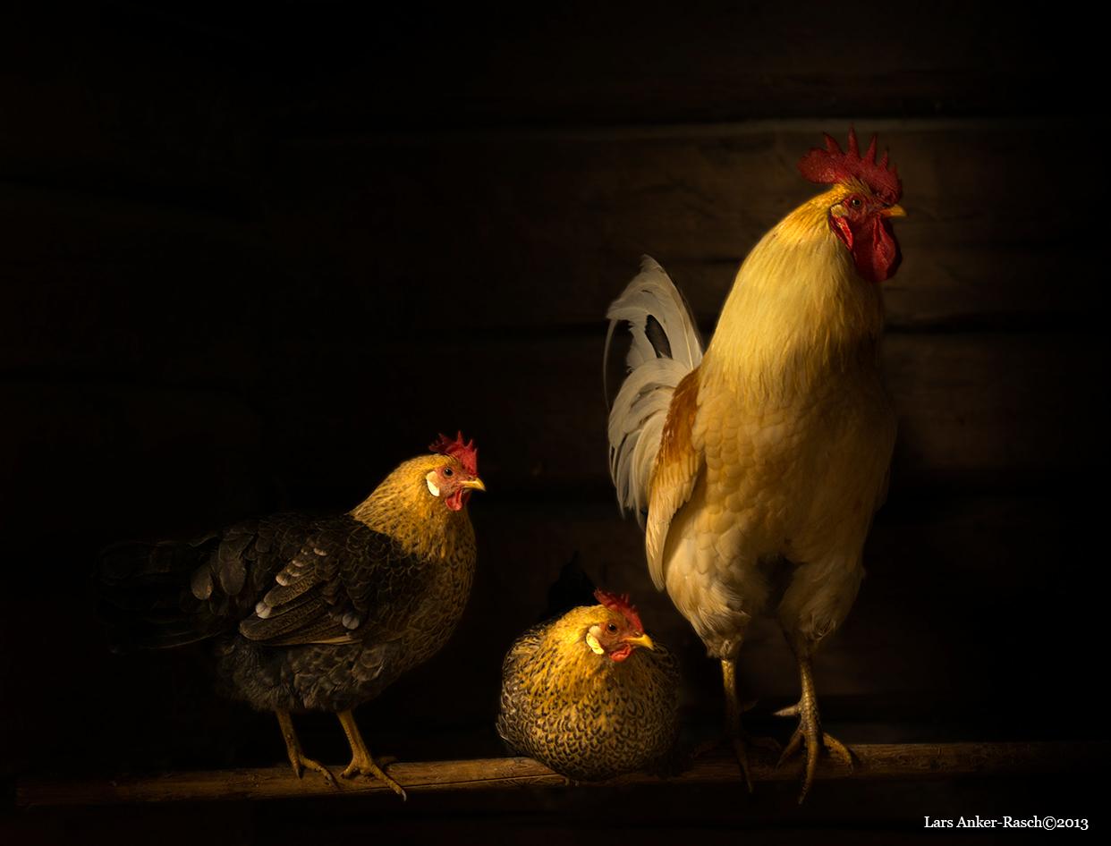 Chickens by lashrasch