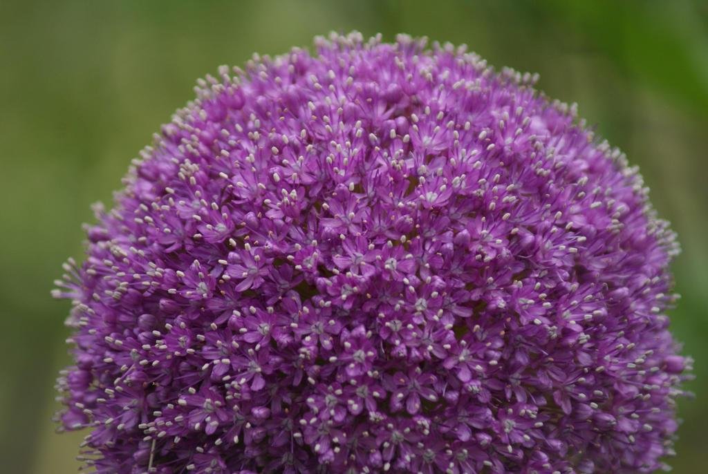 Purple little flowers by yurea on deviantart for Purple flowering shrubs identification