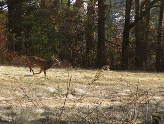 Running 8 Point Whitetail Buck by natureguy