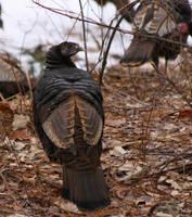 Hen Wild Turkey 1 by natureguy