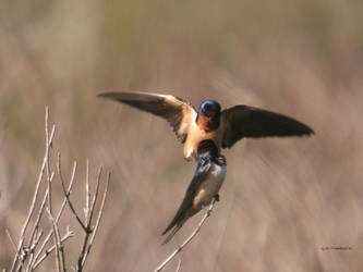 Barn Swallows I by natureguy
