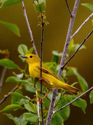 Yellow Warbler III by natureguy