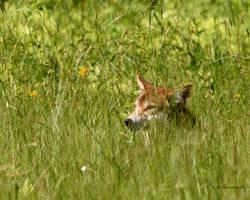 Millis Coyote II by natureguy
