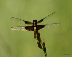 Dragonfly I by natureguy
