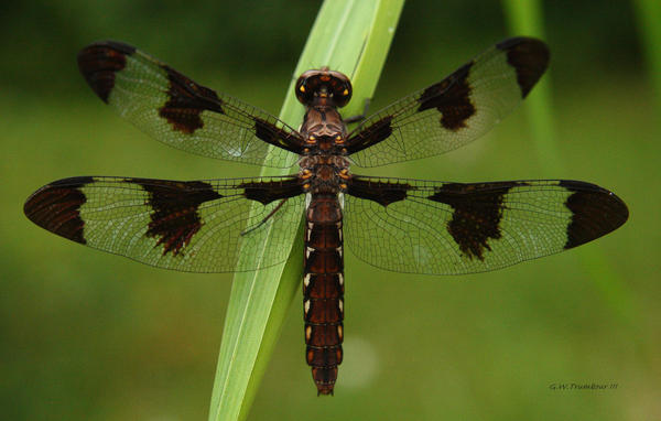 Common Whitetail dragonfly by natureguy