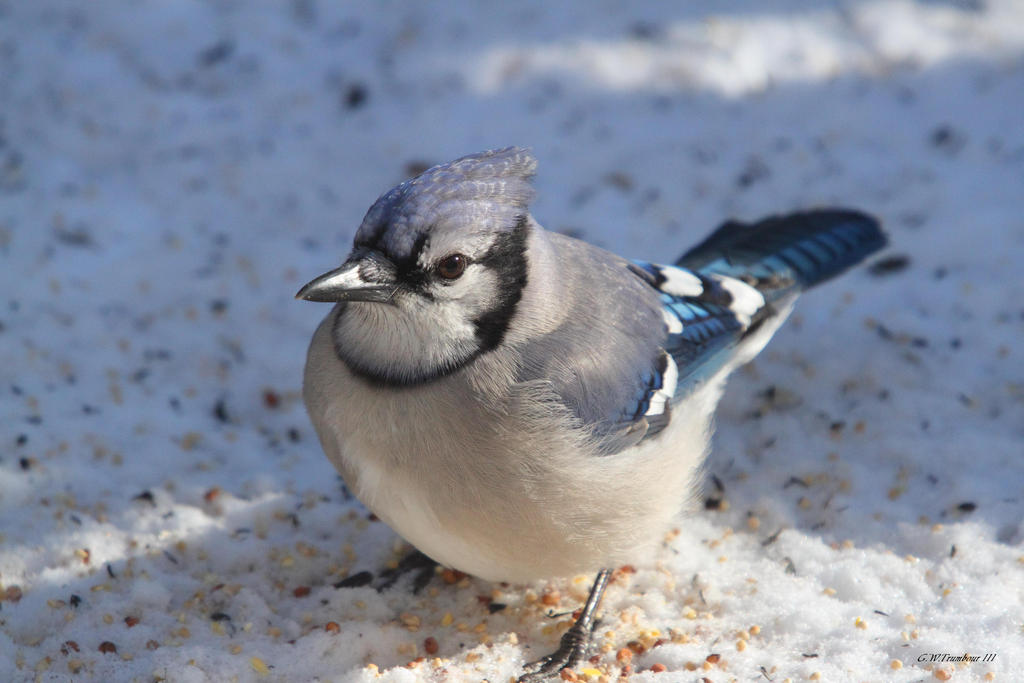 Blue Jay 2010 by natureguy