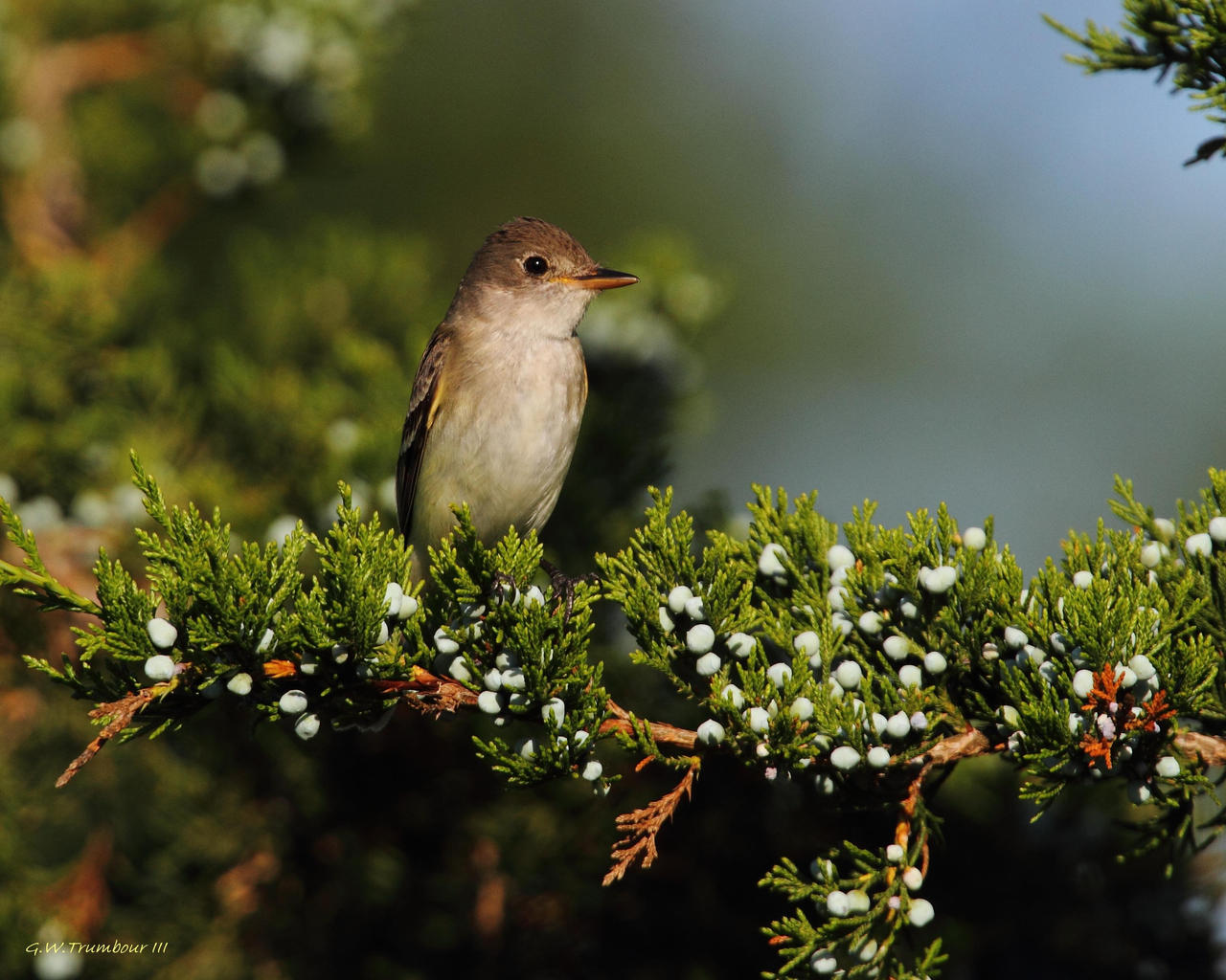 Flycatcher by natureguy