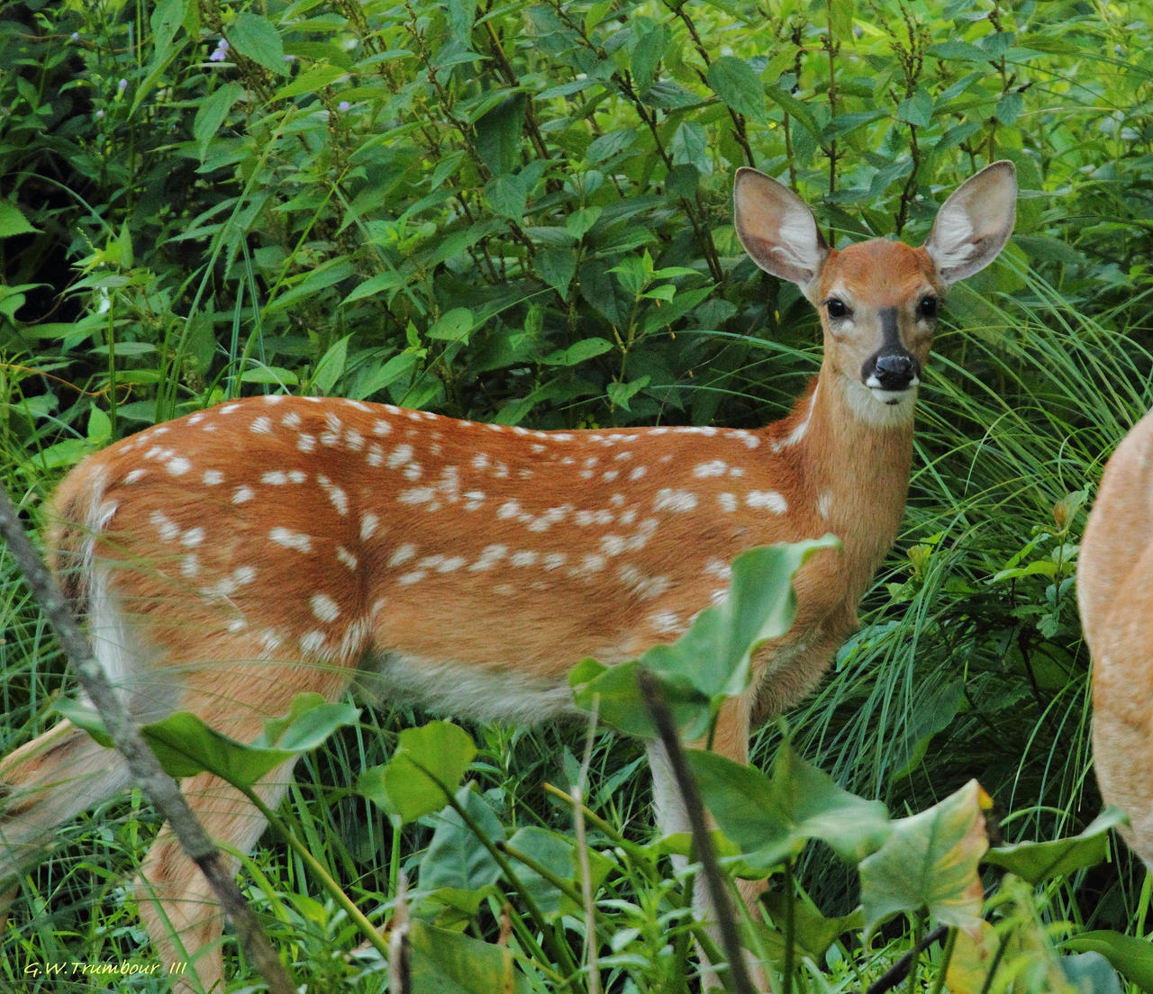 baby whitetail fawn in - photo #10