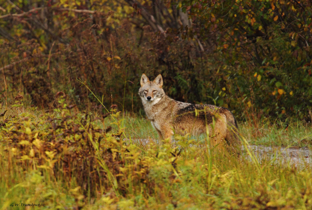 Eastern Coyote in the ...