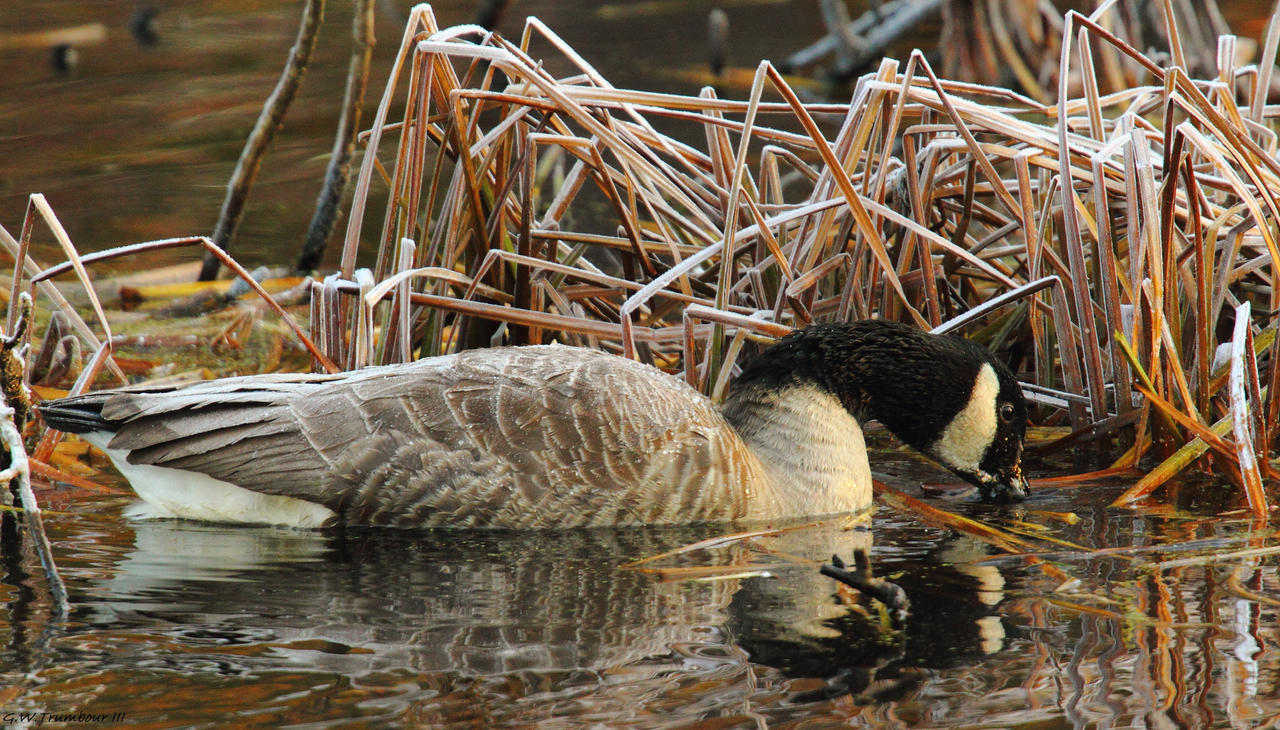 A Chilly Goose by natureguy