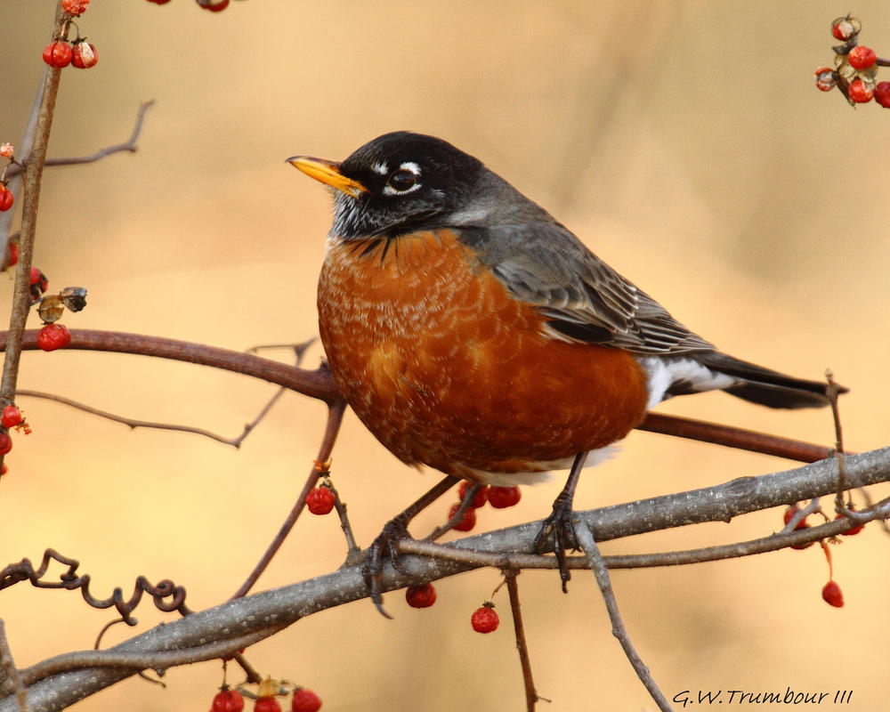 January Robin by natureguy