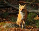 Proud Momma Fox