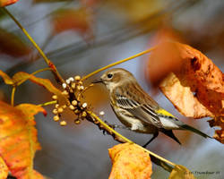 Yellow Rumped Warbler 1 by natureguy