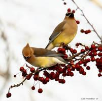Cedar Waxwings III by natureguy