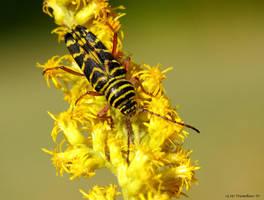 Locust  Borer by natureguy