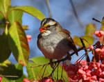 Berry eating Whitethroated Sparrow