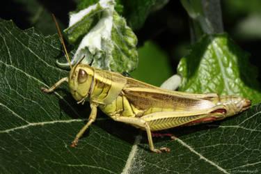 Grasshopper by natureguy