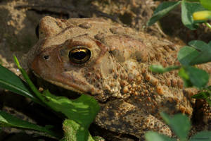 Big Toad in the field by natureguy