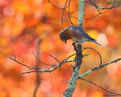 October Eastern Bluebird by natureguy
