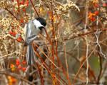 November dawn Chickadee