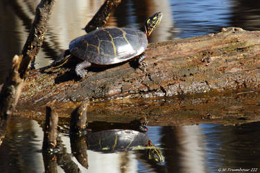 February sun turtle reflection by natureguy