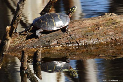 February sun turtle reflection