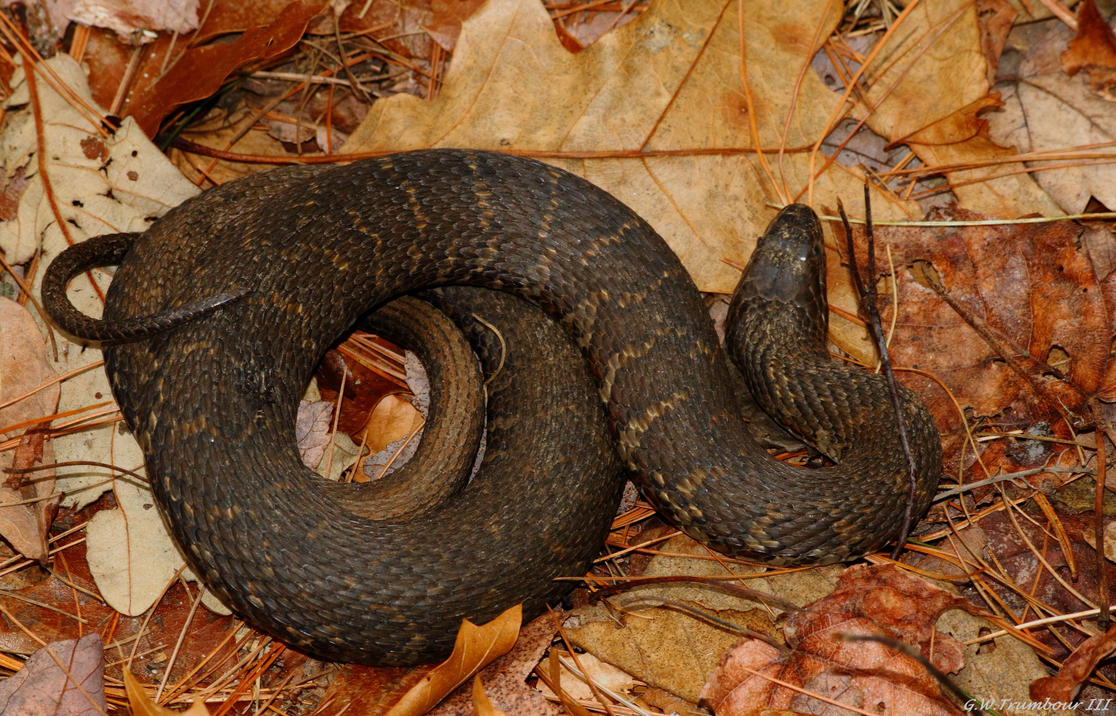 Feb 29th 2016 Eastern Water Snake by natureguy