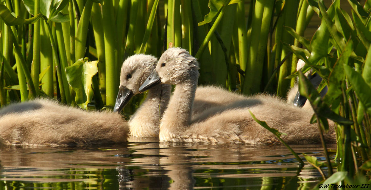 Couple of young Swans by natureguy