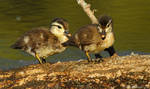 Little Wood ducks