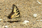 Anise Swallowtail Buterfly 2016