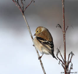 Cold morning Goldfinch by natureguy
