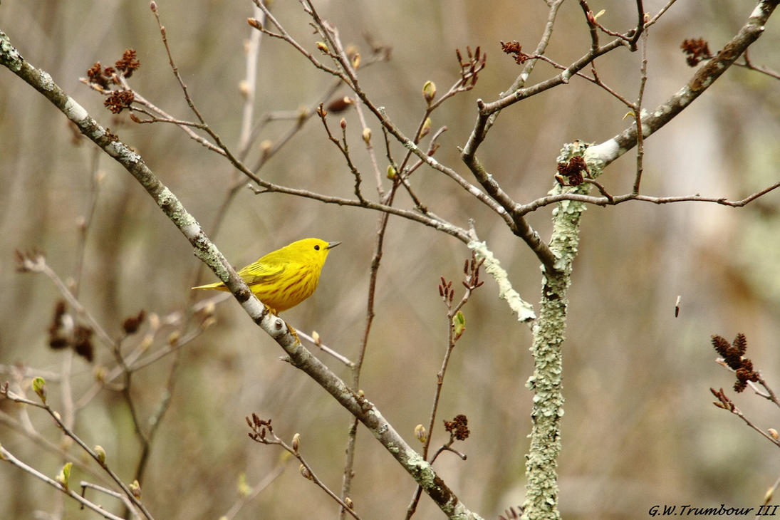 First Yellow Warbler of 2017 ! by natureguy