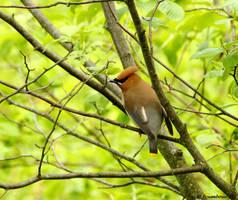 Trailside Cedar Waxwing by natureguy