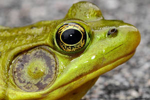 Frog study 2 by natureguy