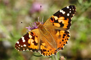 Painted Lady topside by natureguy